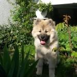 Rüde Dagur Amore mit 4 Monaten
