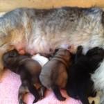 3 Tage später hat Ayscha 2 Chihuahua Welpen adoptiert.