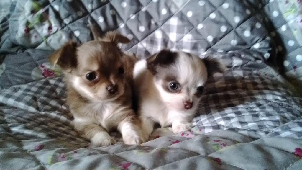 Die Chihuahuas sind Ende der 7 Woche an die Besitzer abgegeben worden. Ich habe mich richtig an sie gewöhnen können. Wir bleiben in Verbindung.